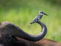 Der gescheckte Eisvogel, Ceryle rudis ist, aufwerfend sitzend und auf dem Büffelhorn, überraschender malerischer grüner Hintergru stockfoto