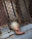 Der geschlossene Affe hinter Gittern, bittet um Lebensmittel Stockfoto