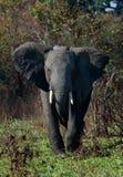 Der gestörte Elefant. Lizenzfreies Stockbild