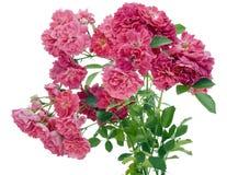 Der getrennte Busch der rosafarbenen Rosen Lizenzfreie Stockfotos