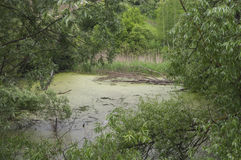 Der getrocknete Baum fiel in den Sumpf Stockbilder