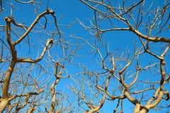 Der getrocknete Baum gegen den blauen Himmel Lizenzfreie Stockfotografie