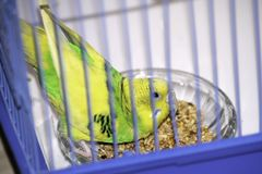 Der gewellte Papagei pickt bereitwillig Korn in einem Käfig lizenzfreies stockfoto