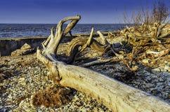 Der geworfene-heraus Baum Lizenzfreies Stockfoto