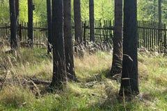 Der gezierte Wald mit dem Bretterzaun Stockfoto