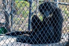 Der Gibbon Stockfotografie