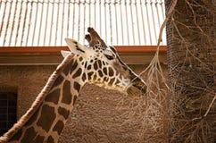 Der Giraffenkopf Lizenzfreie Stockfotos