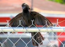 Der glatte berechnete Ani ist ein eigenartigster Vogel lizenzfreies stockfoto