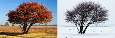 Der gleiche Baum im Sommer und im Winter Lizenzfreie Stockbilder