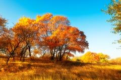 Der goldene Ahorn des Herbstes Lizenzfreies Stockfoto