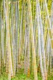 Der goldene Bambuswald Lizenzfreie Stockfotografie