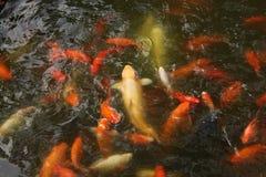 Der Goldfisch Stockbilder