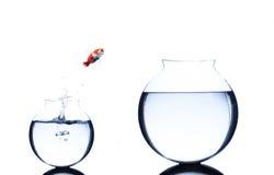 Der Goldfisch springend von kleinem zur größeren lokalisierten Schüssel lizenzfreies stockbild