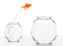 Der Goldfish springend von kleinem zur größeren Schüssel Stockfotos