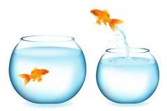 Der Goldfish springend zu anderem Goldfish Stockfotos