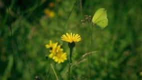 Der Gonepteryx-Schmetterling trinkt Nektar und fliegt stock video
