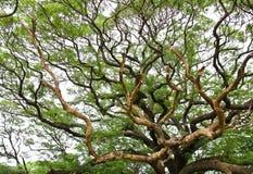 Der größte Affe-Hülsen-Baum Stockbilder
