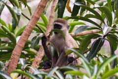 Der grüne Affe auf dem Baum Masai Mara Lizenzfreie Stockfotografie