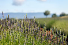 Der grüne Binder des Lavendels Lizenzfreie Stockbilder