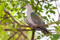 Der grüne britische Taubenfang auf dem Baum Stockbilder