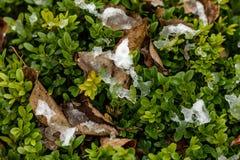 Der grüne Busch des Buchsbaumes mit gefallenen gelben Blättern wird mit dem ersten Schnee bedeckt Details der Natur im Fall Selek stockbild