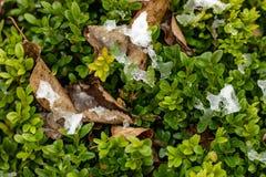 Der grüne Busch des Buchsbaumes mit gefallenen gelben Blättern wird mit dem ersten Schnee bedeckt Details der Natur im Fall Selek stockbilder