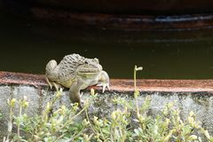 Der grüne Frosch lizenzfreie stockfotos
