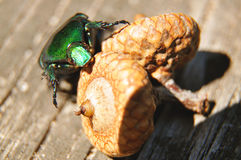 Der grüne Käfer sitzt auf der Eichel Lizenzfreies Stockbild