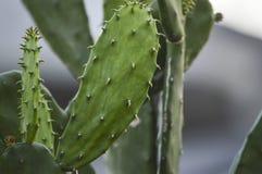 Der grüne Kaktus Lizenzfreies Stockbild