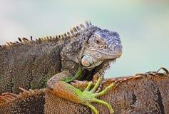 Der grüne Leguan Lizenzfreies Stockfoto