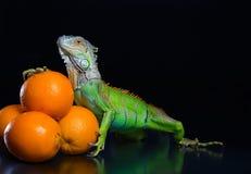 Der grüne Leguan und ein Stapel von Orangen Stockbild