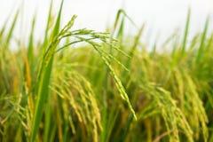 Der grüne Reis auf dem Gebiet Lizenzfreie Stockfotografie