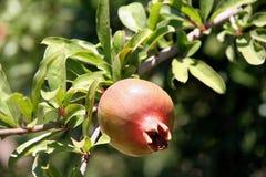Der Granatapfel lizenzfreie stockfotos