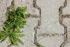 Der Grasbusch wächst von Pflastersteinen Stockbild