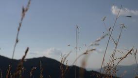 Der Grasstieleinfluß im Wind stock video