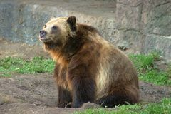 Der Graubär Stockbild