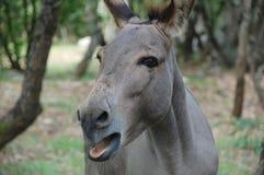 Der graue Esel im Holz Stockfotos