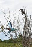 Der graue Hornbill, der in einigen Niederlassungen mit Veilchen sitzt, breasted Rolle Lizenzfreies Stockbild
