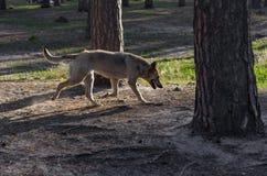 Der graue nicht reinrassige Hund, der auf dem Gras spielt Lizenzfreies Stockbild