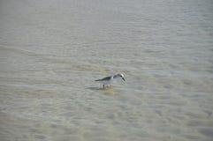 Der graue Vogel, der in Wasser geht Stockfoto