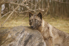 Wolf Lizenzfreies Stockfoto