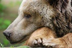 Der Grizzlybär Lizenzfreie Stockfotografie