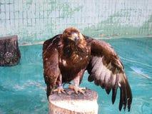 Der große Adler mit den grauen und braunen Federn Stockfoto