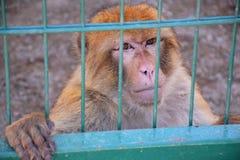 Der große Affe sitzt in einem Käfig und betrachtet das Umgeben, Sommer Lizenzfreies Stockbild