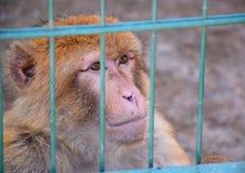 Der große Affe sitzt in einem Käfig und betrachtet das Umgeben, Sommer Stockfotos