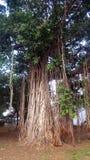 Der große Banyanbaum mit einigem zerschmetterte Bereich mehr, als 100 jährig aussondern Lizenzfreie Stockfotos