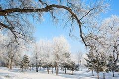 Der große Baum in der Winterlandschaft Stockfoto