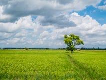 Der große Baum des Schattens, der auf dem grünen Jasminreisgebiet steht Lizenzfreies Stockbild