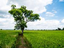 Der große Baum des Schattens, der auf dem grünen Reisgebiet steht Stockfotos