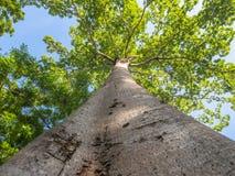 Der große Baum im Garten Stockbilder